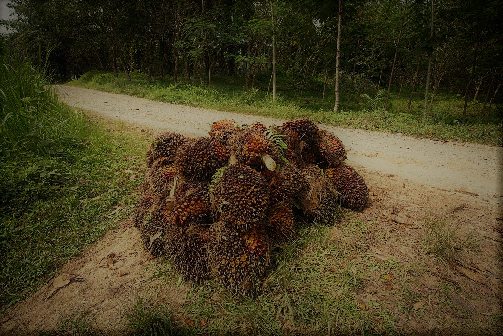 EDO State Government APPROVES ALLOCATION of 40,000 hectares of LAND for OIL PALM CULTIVATION